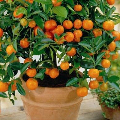 Citrus Paclobutrazol Insecticide