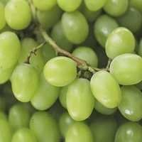 Export Quality Fresh Green Grapes