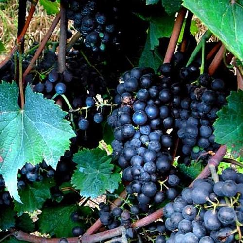Best Quality Black Grapes