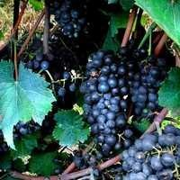 Best Quality Black Grapes