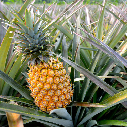 Export Quality Fresh Pineapple