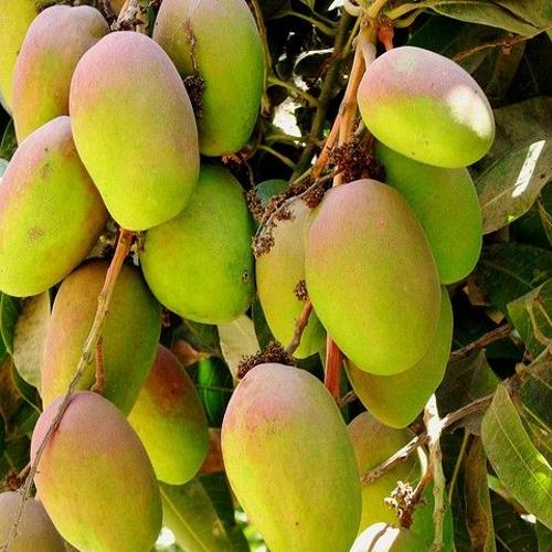 Export Quality Indian Ripe Mango