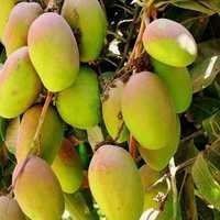 Export Quality Indian Ripe Mango