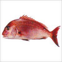 Red Sea Bream Fish