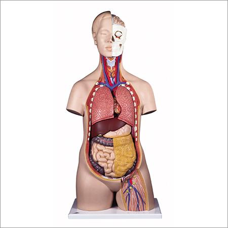 Human Body (Torso)