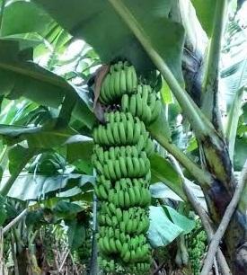 Grand Naine Banana Plant Tissue Culture