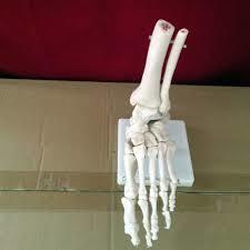 SKELTAL MODEL OF HUMAN FOOT