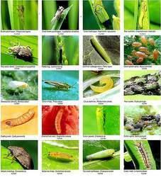 MEALYBUG CONTROL BIOPESTICIDES