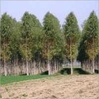 Nilgiri Tree