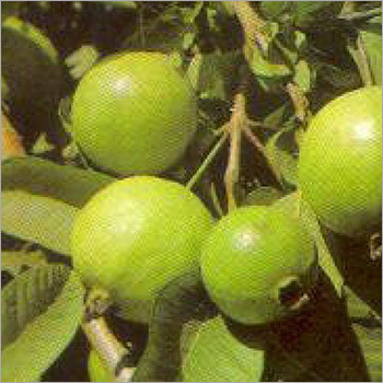 Psidium Guajava Tree