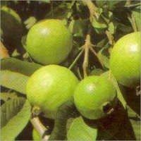 Psidium Guajava Tree