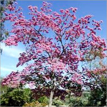Tabebuia Rosea Tree