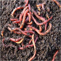 Earthworm Asenia Fatida