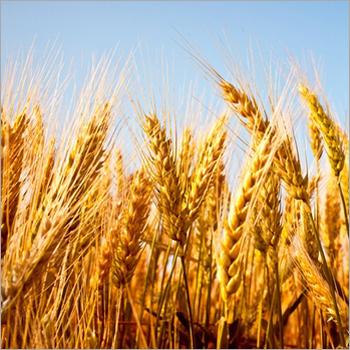 High Paddy Wheat