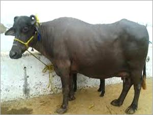 Mehsana Buffalos