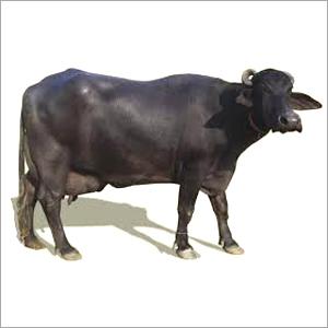Buffalo Mehsana