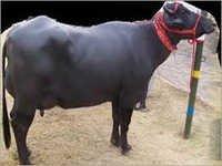Murrah Buffalo haryana