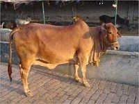Cow Sahiwal