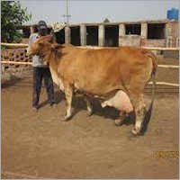 Sahiwal Cow in Karnal