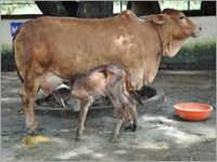 Sahiwal cow in india