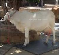 Cow Tharparkar