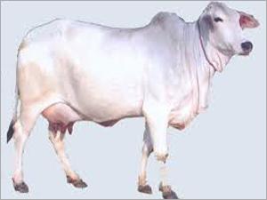 Cows Tharparkar