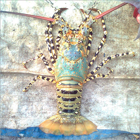 Marine Lobster