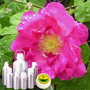 Wildcrafted Rose Oil