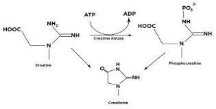 Human serum (medium creatinine)