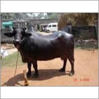 Murrah Dairy Buffalo