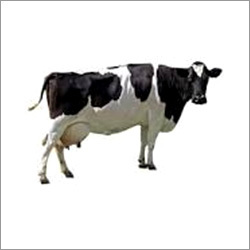 Black White HF Cow