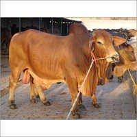 Sahiwal Breed Bull