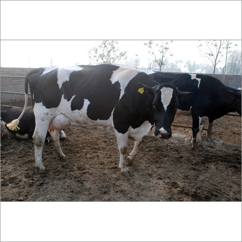 Black Holstein Friesian Cow
