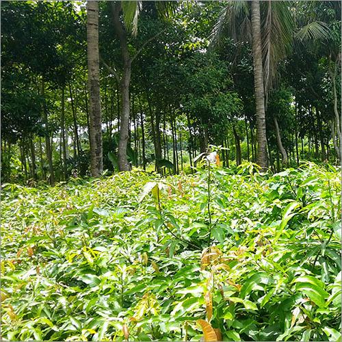 Grafted Himsagar Mango Plant