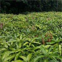 Amrapali Mango Grafted Plant