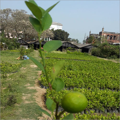 Grafted Natural Lemon Plant