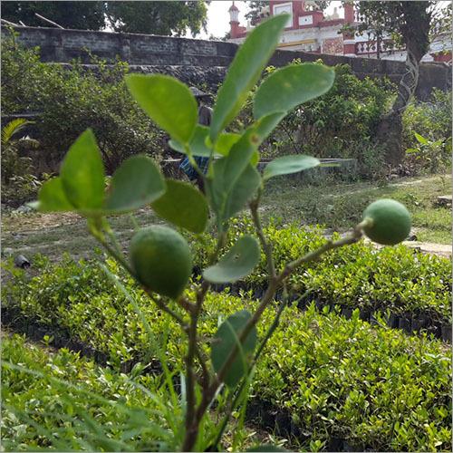 Grafted Lemon Plant