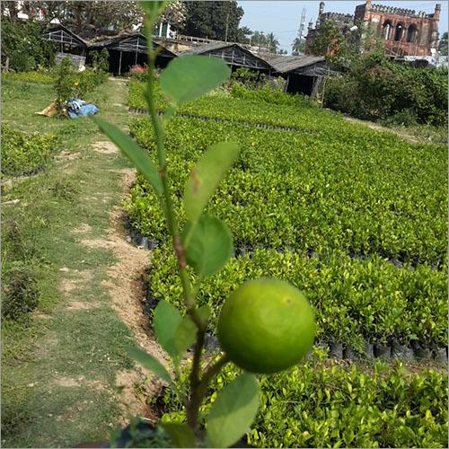 Hybrid Lemon Plant
