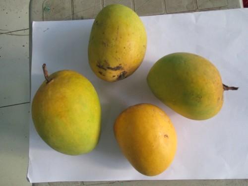 Hapoos Mango