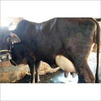 HF Breed Cow