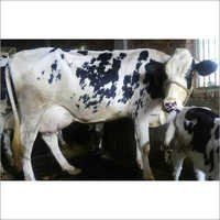 Healthy HF Breed Cow