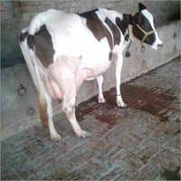 HF Milking Cow