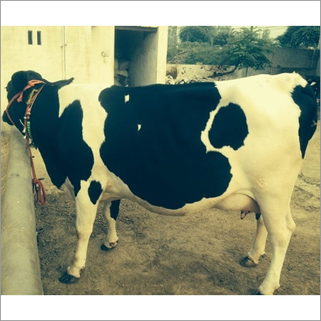 Holstein Friesians Breed Milking Cow