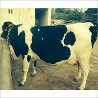 HF Breed Milking Cow