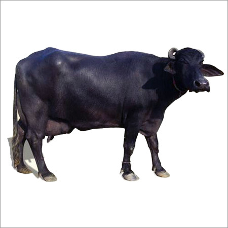 Domestic Murrah Buffalo