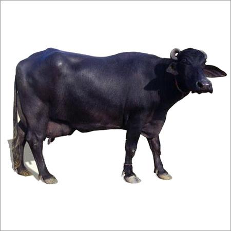 Murrah Buffalo suppliers in haryana