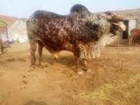 Rathi bull