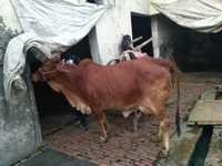 Red sindhi cow