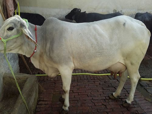 Tharparker Cows