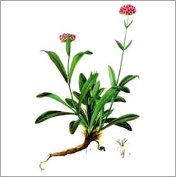 jatamansi (Spikenard) Oil